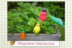51muguetus veyraculusa